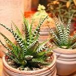 Impressionen mit Zebrapflanzen
